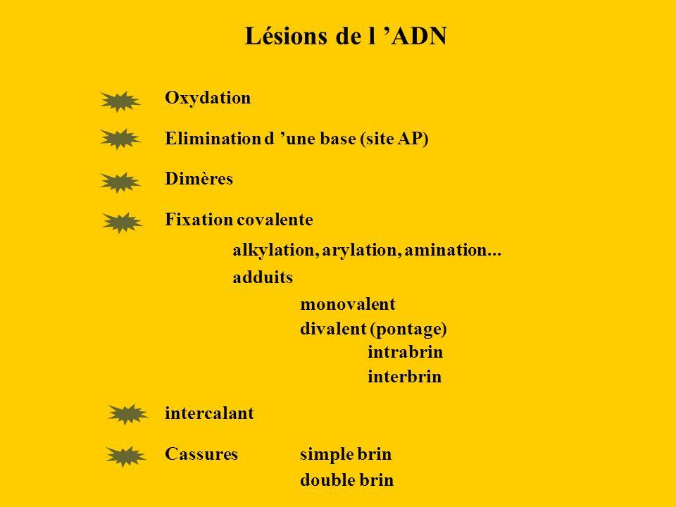 Lésions de l 'ADN Oxydation Elimination d 'une base (site AP) Dimères