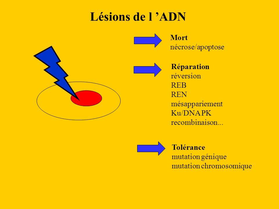 Lésions de l 'ADN Mort nécrose/apoptose Réparation réversion REB REN