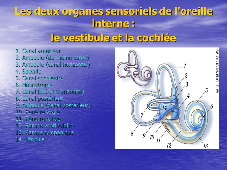 Les deux organes sensoriels de l oreille interne : le vestibule et la cochlée