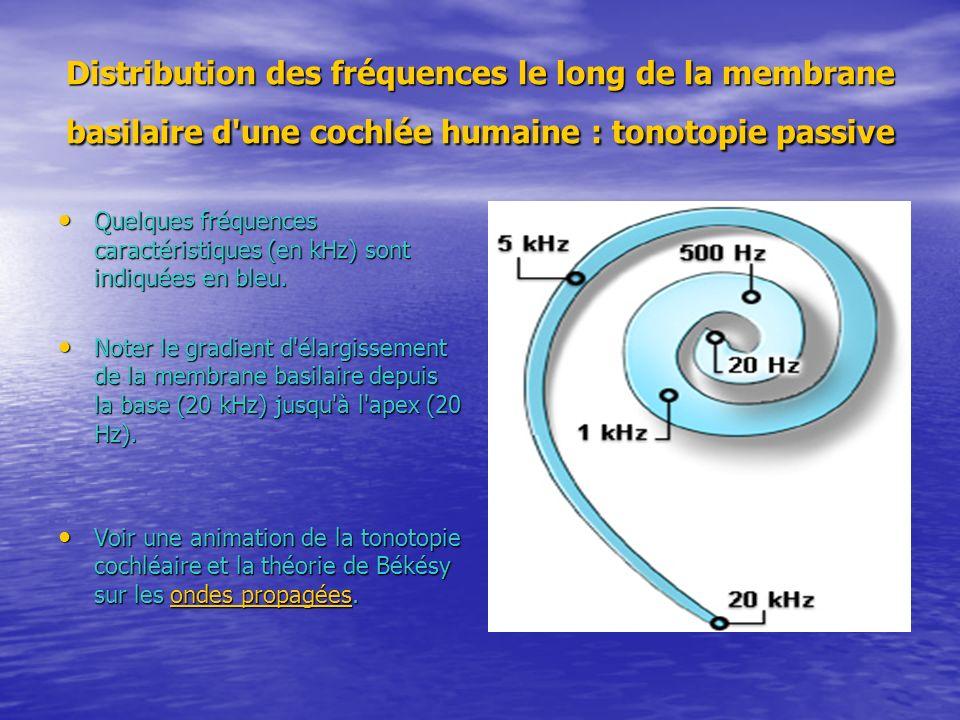 Distribution des fréquences le long de la membrane basilaire d une cochlée humaine : tonotopie passive