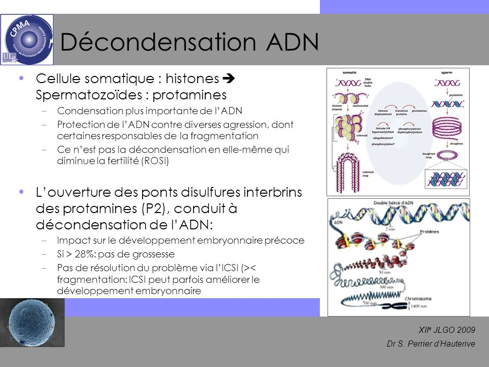 Décondensation ADN Cellule somatique : histones  Spermatozoïdes : protamines. Condensation plus importante de l'ADN.