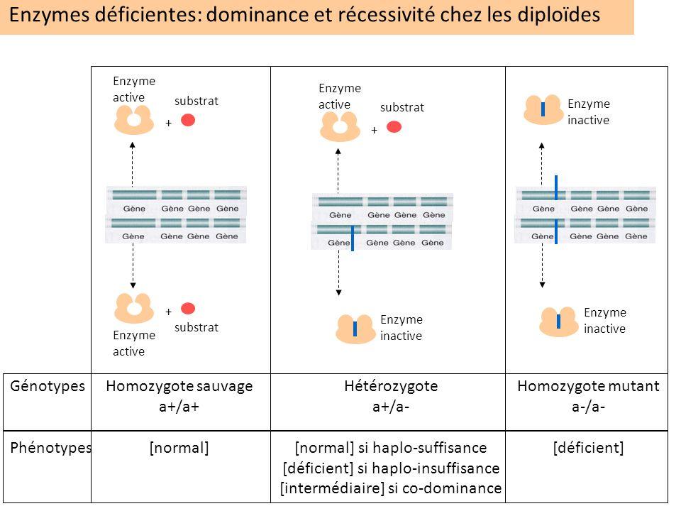 Enzymes déficientes: dominance et récessivité chez les diploïdes