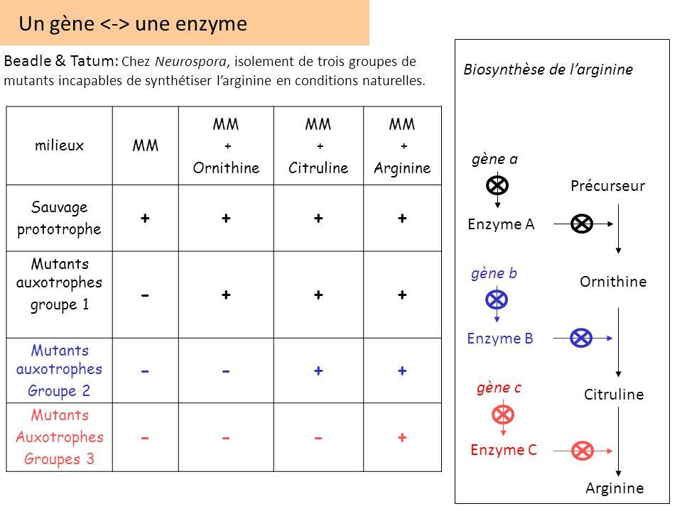 Un gène <-> une enzyme