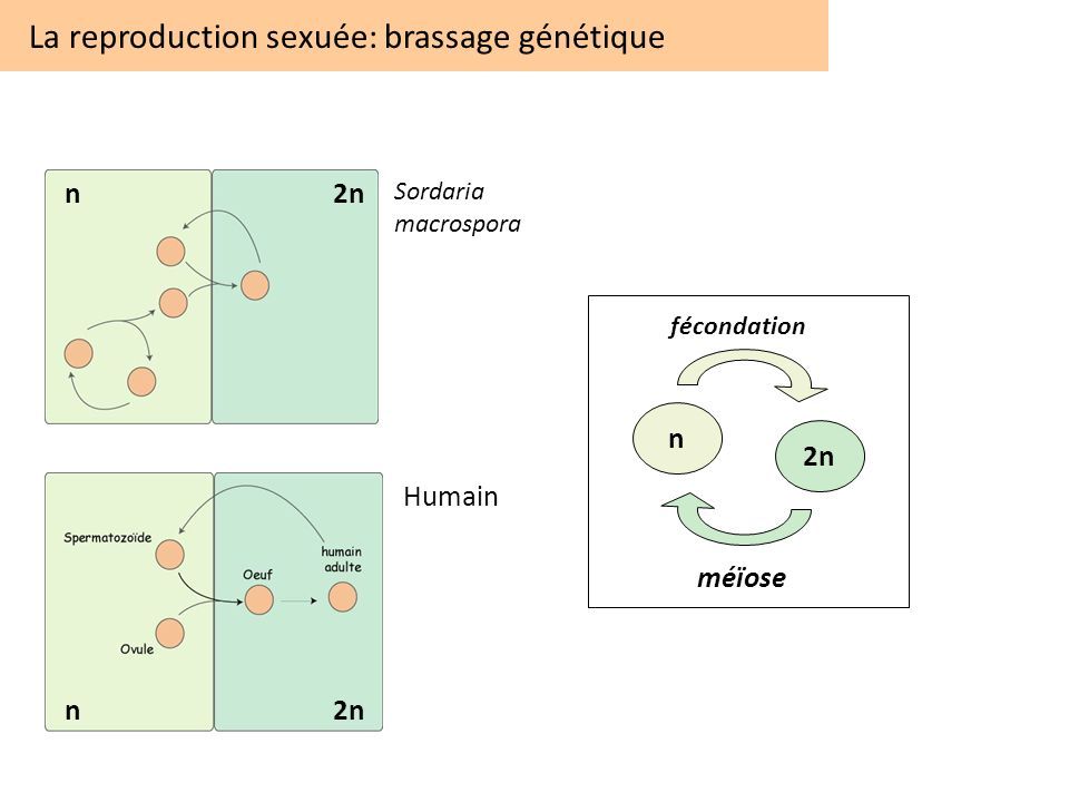 La reproduction sexuée: brassage génétique