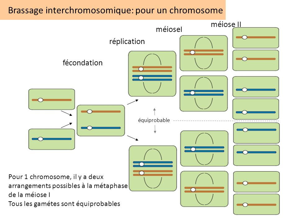 Brassage interchromosomique: pour un chromosome