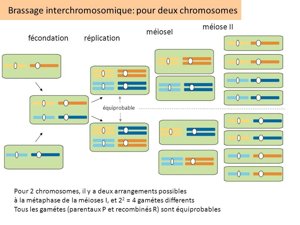 Brassage interchromosomique: pour deux chromosomes