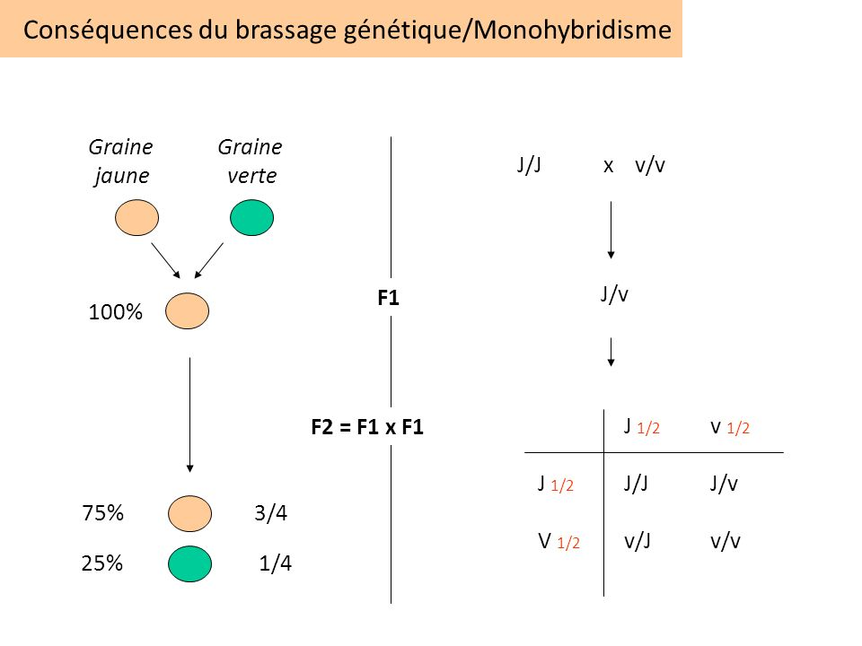 Conséquences du brassage génétique/Monohybridisme