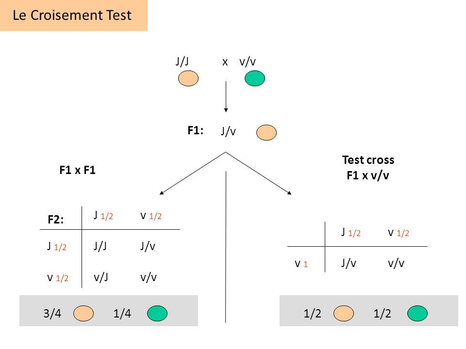 Le Croisement Test J/J x v/v F1: J/v Test cross F1 x v/v F1 x F1
