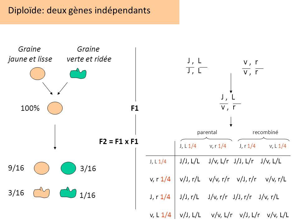 Diploïde: deux gènes indépendants