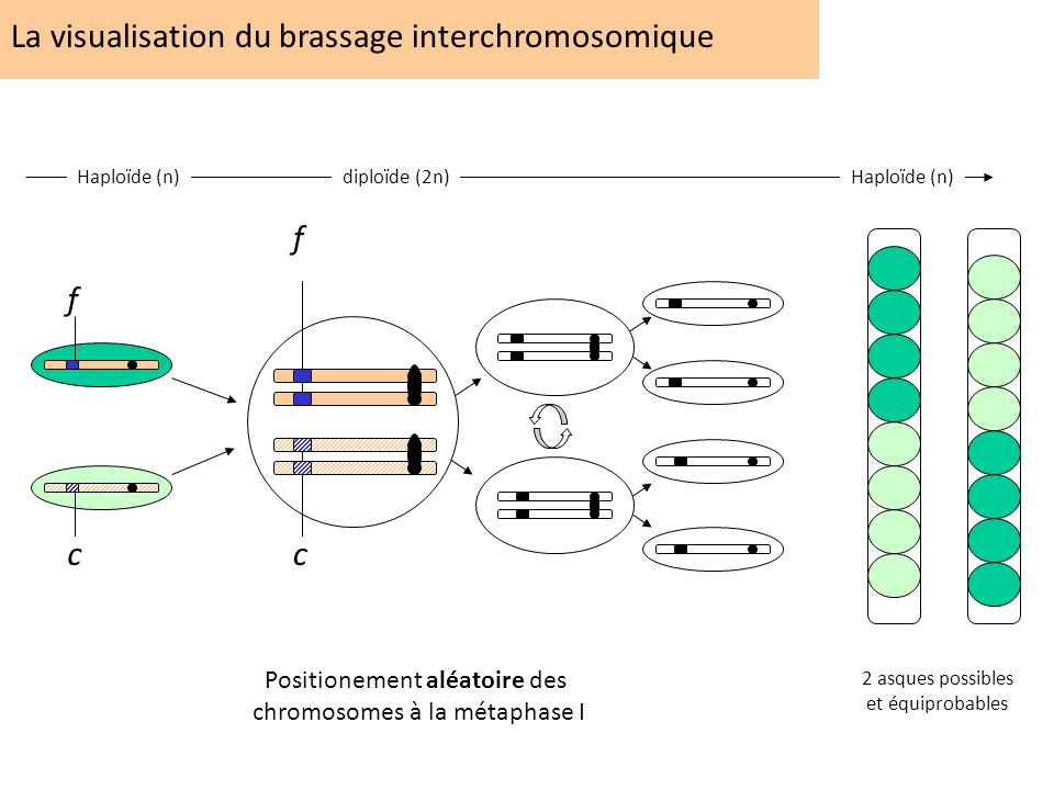 La visualisation du brassage interchromosomique