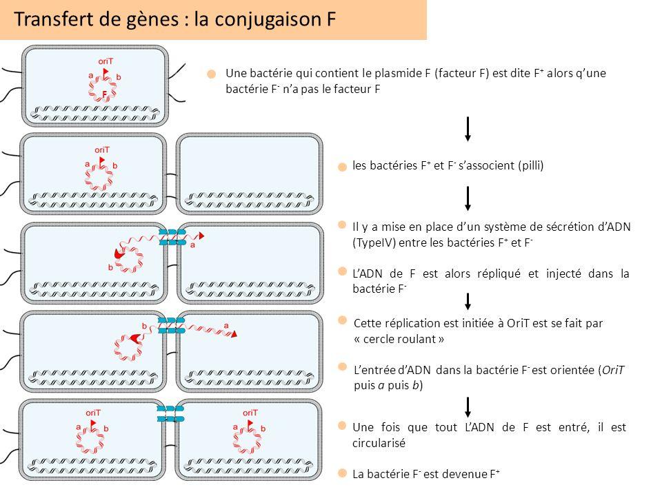 Transfert de gènes : la conjugaison F
