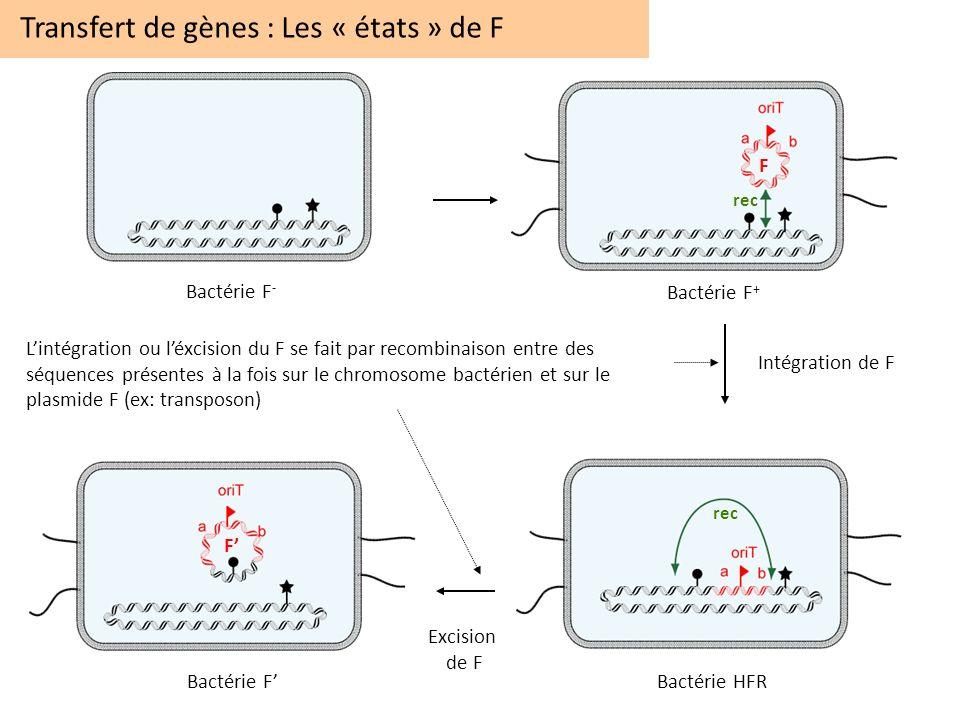Transfert de gènes : Les « états » de F