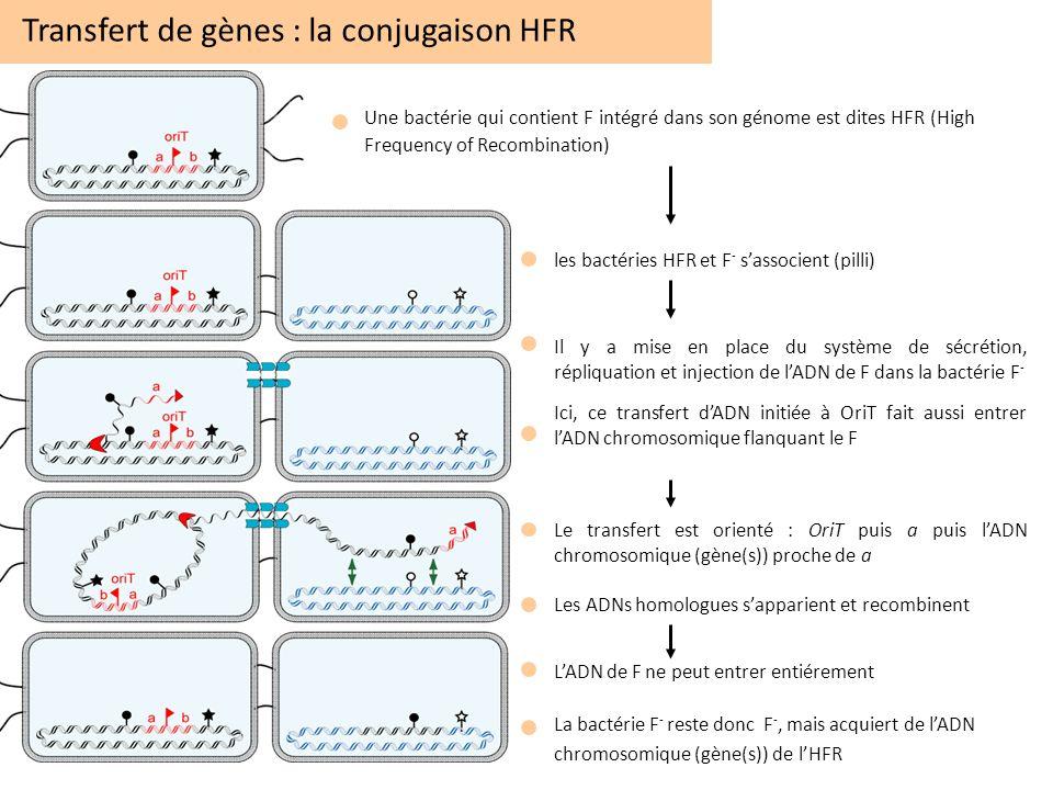 Transfert de gènes : la conjugaison HFR