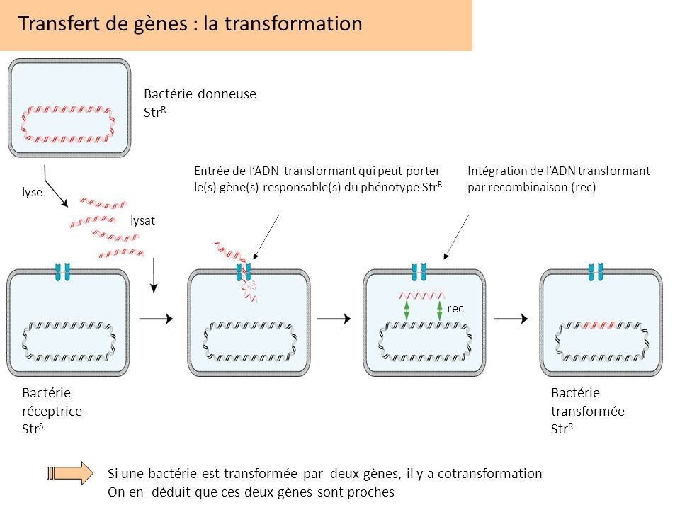 Transfert de gènes : la transformation