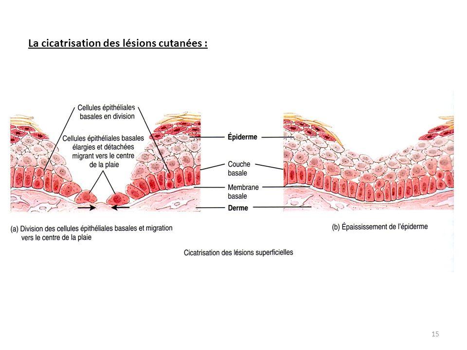 La cicatrisation des lésions cutanées :