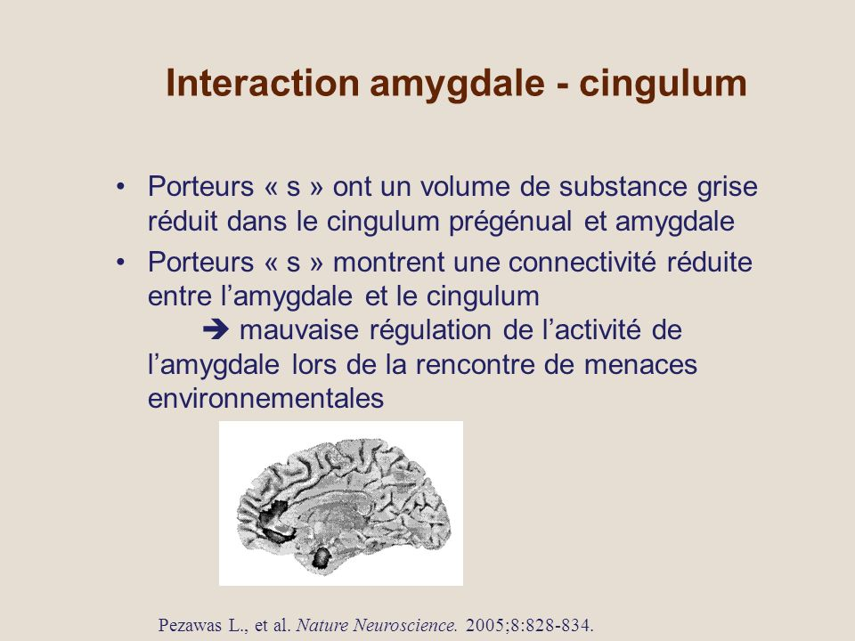 Interaction amygdale - cingulum