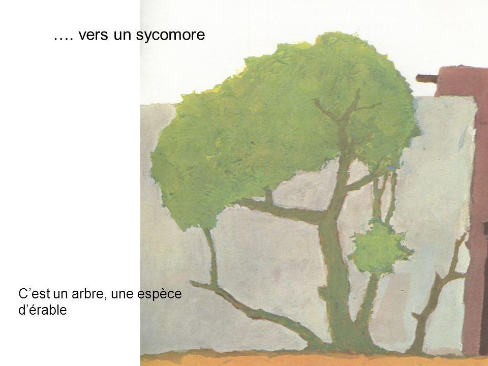 …. vers un sycomore C'est un arbre, une espèce d'érable