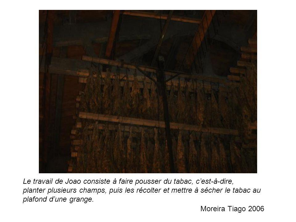 Le travail de Joao consiste à faire pousser du tabac, c'est-à-dire, planter plusieurs champs, puis les récolter et mettre à sécher le tabac au plafond d'une grange.