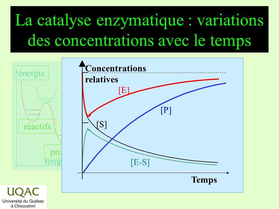 La catalyse enzymatique : variations des concentrations avec le temps