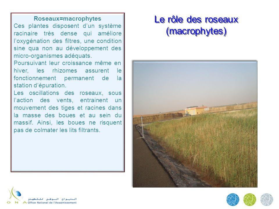 Le rôle des roseaux (macrophytes)