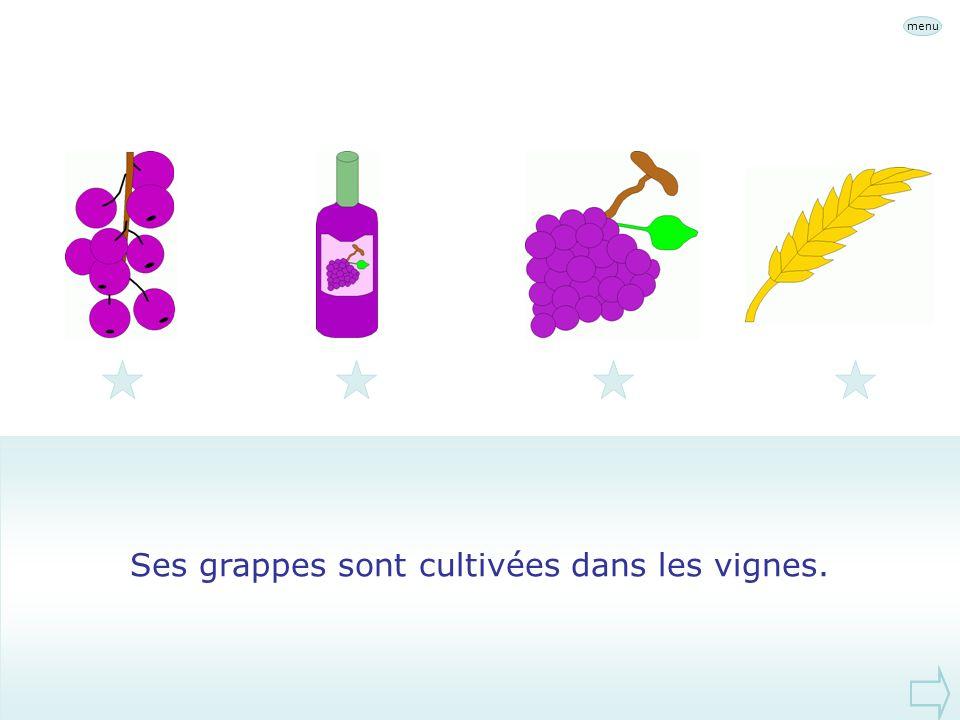 Ses grappes sont cultivées dans les vignes.