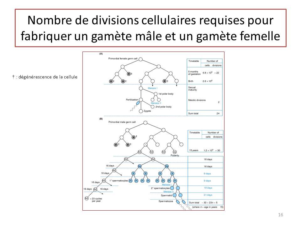 bio36 Nombre de divisions cellulaires requises pour fabriquer un gamète mâle et un gamète femelle. † : dégénérescence de la cellule.