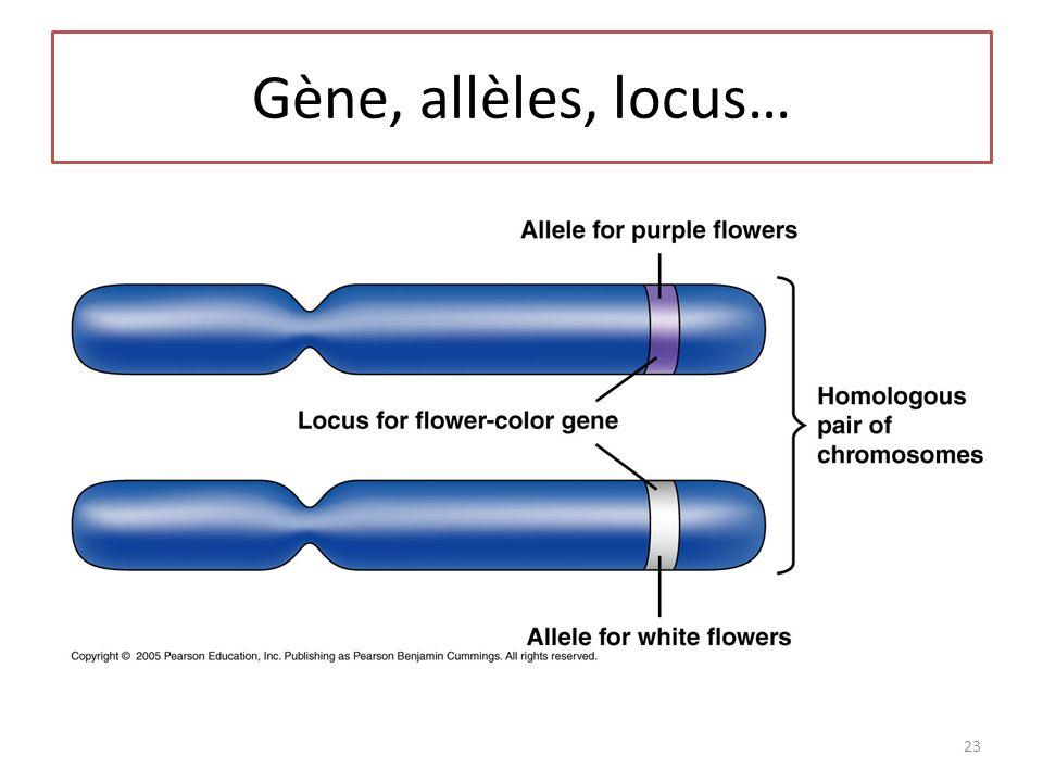 Gène, allèles, locus…