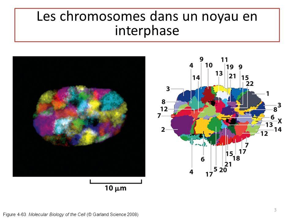 Les chromosomes dans un noyau en interphase