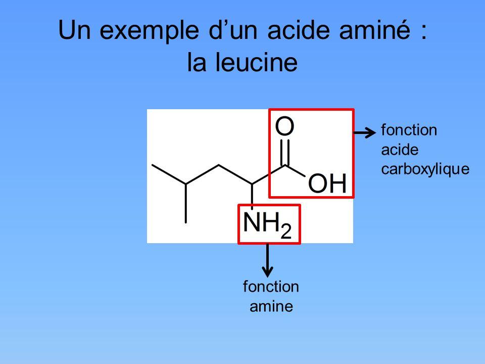 Un exemple d'un acide aminé : la leucine