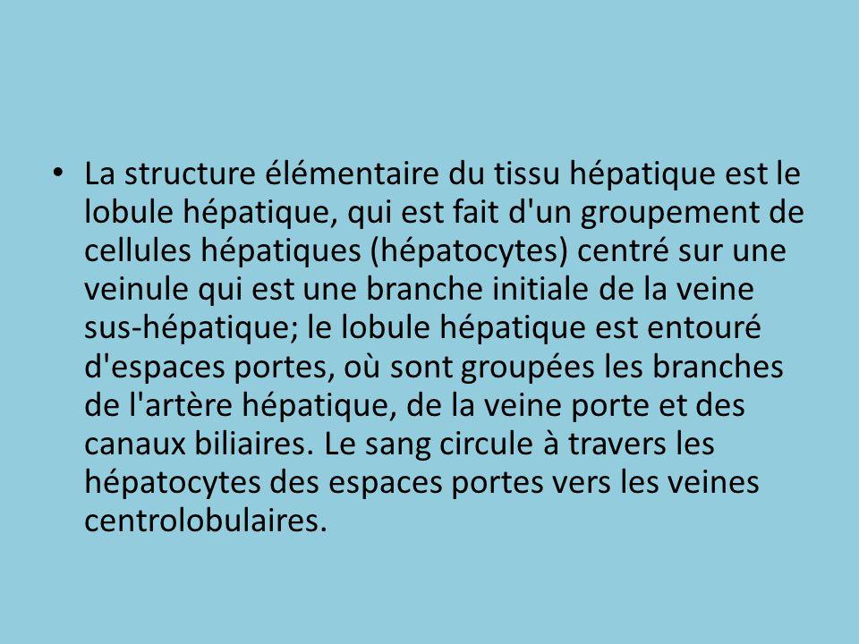 La structure élémentaire du tissu hépatique est le lobule hépatique, qui est fait d un groupement de cellules hépatiques (hépatocytes) centré sur une veinule qui est une branche initiale de la veine sus-hépatique; le lobule hépatique est entouré d espaces portes, où sont groupées les branches de l artère hépatique, de la veine porte et des canaux biliaires.
