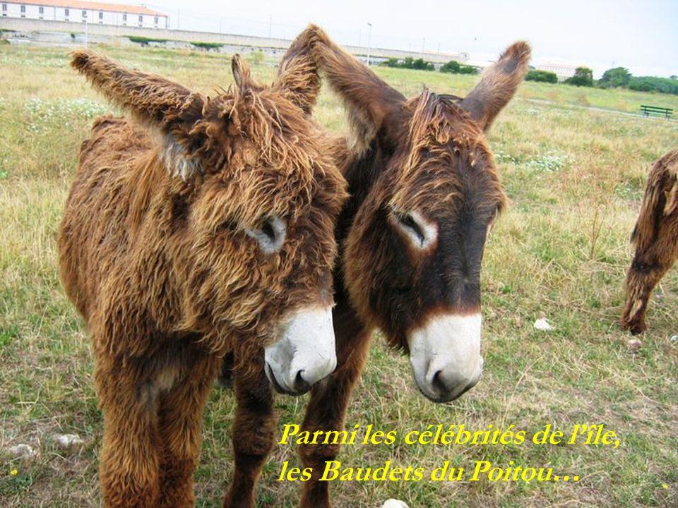 Parmi les célébrités de l'île, les Baudets du Poitou…