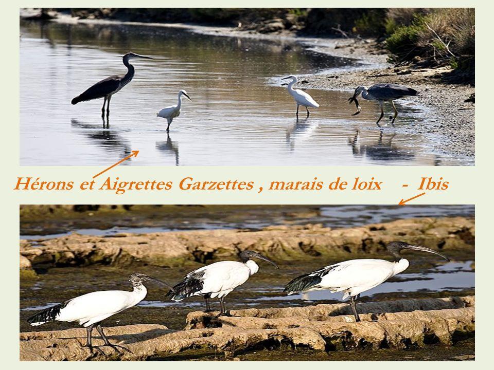 Hérons et Aigrettes Garzettes , marais de loix - Ibis