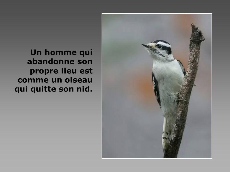 Un homme qui abandonne son propre lieu est comme un oiseau qui quitte son nid.