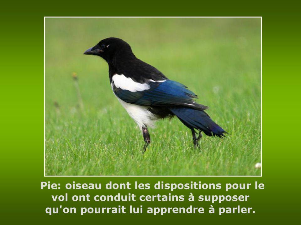Pie: oiseau dont les dispositions pour le vol ont conduit certains à supposer qu on pourrait lui apprendre à parler.