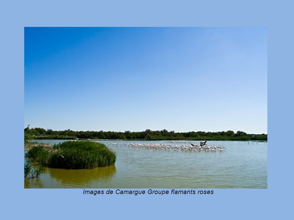Images de Camargue Groupe flamants roses