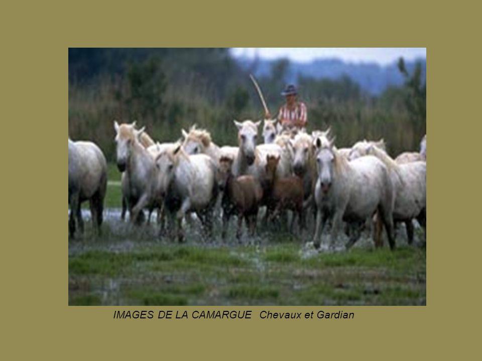 IMAGES DE LA CAMARGUE Chevaux et Gardian
