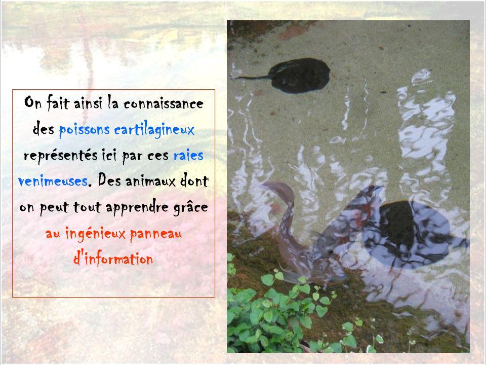 On fait ainsi la connaissance des poissons cartilagineux représentés ici par ces raies venimeuses.