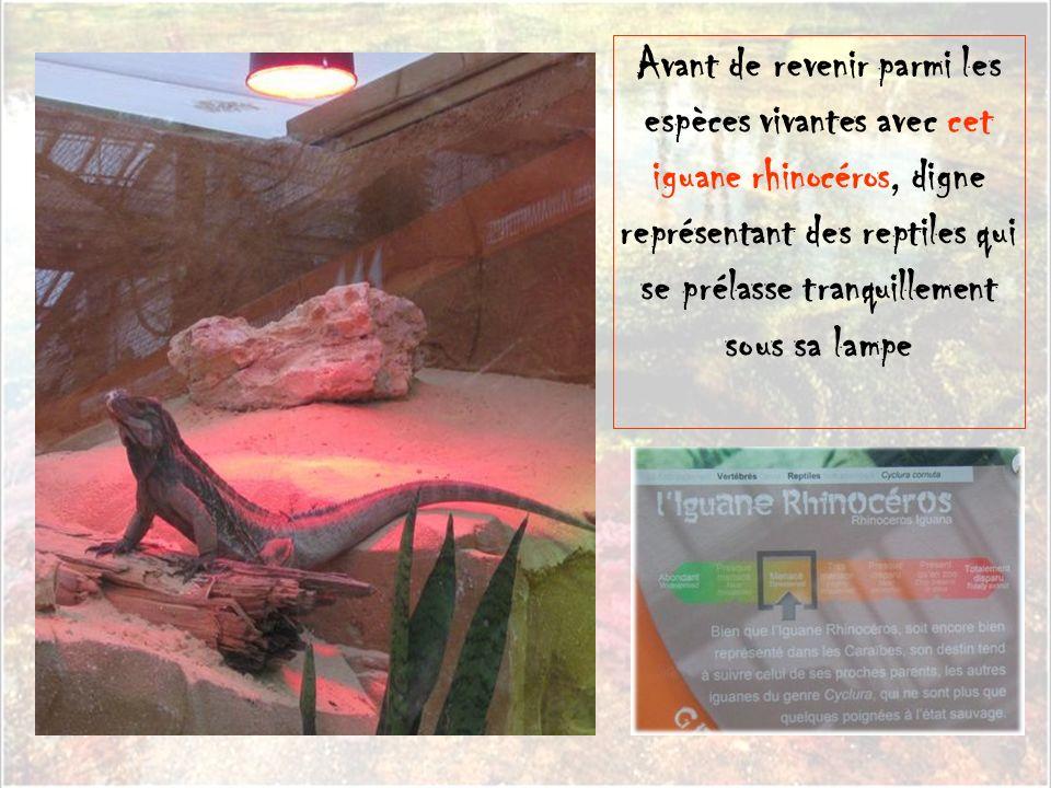 Avant de revenir parmi les espèces vivantes avec cet iguane rhinocéros, digne représentant des reptiles qui se prélasse tranquillement sous sa lampe