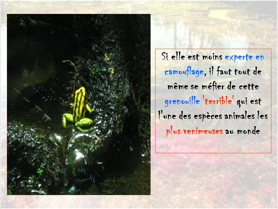 Si elle est moins experte en camouflage, il faut tout de même se méfier de cette grenouille terrible qui est l une des espèces animales les plus venimeuses au monde