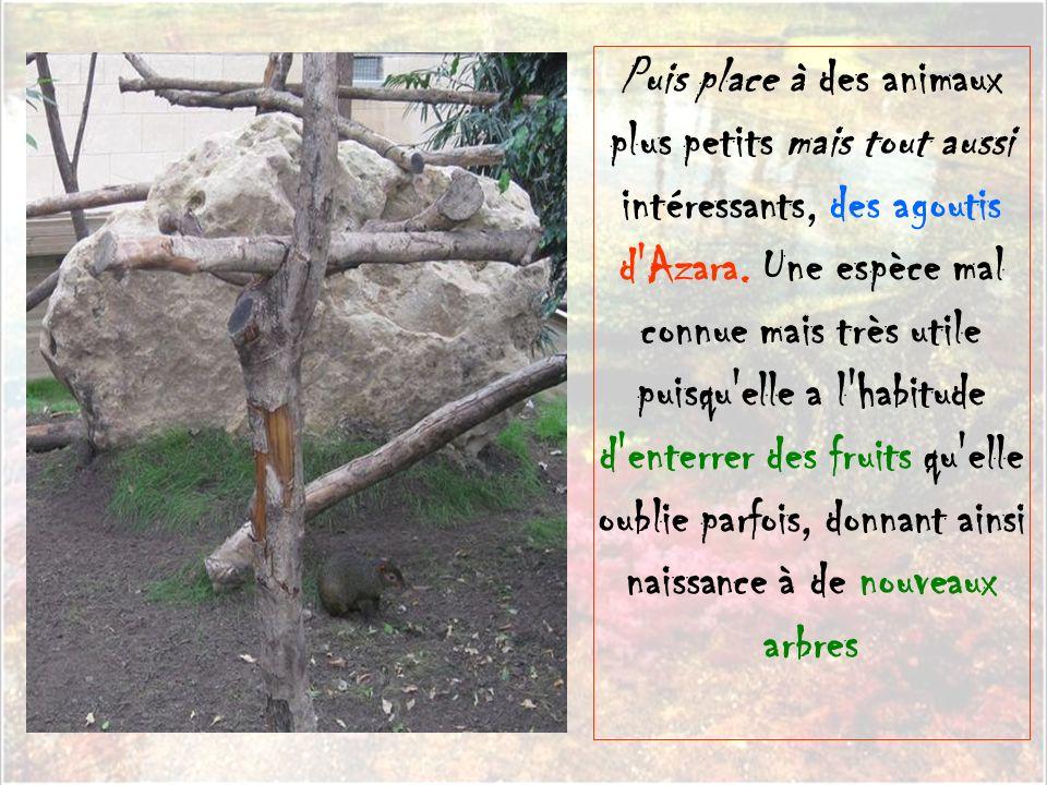 Puis place à des animaux plus petits mais tout aussi intéressants, des agoutis d Azara.
