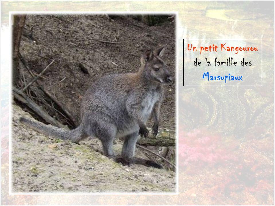de la famille des Marsupiaux