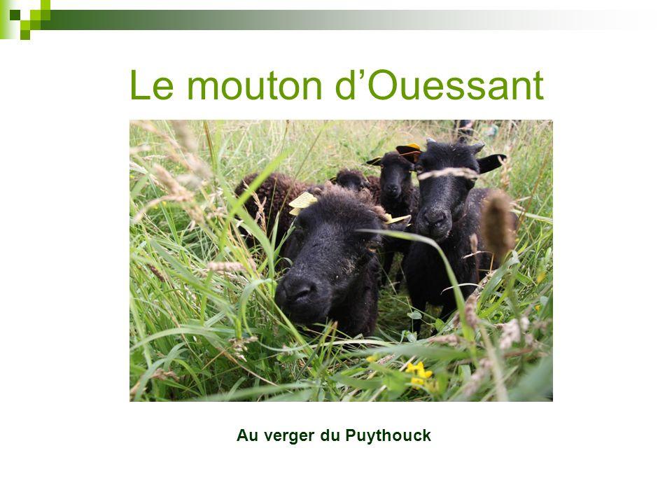 Le mouton d'Ouessant Au verger du Puythouck