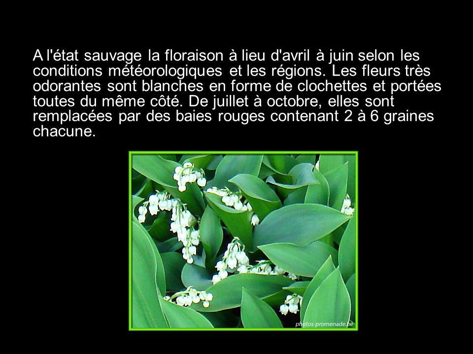 A l état sauvage la floraison à lieu d avril à juin selon les conditions météorologiques et les régions.