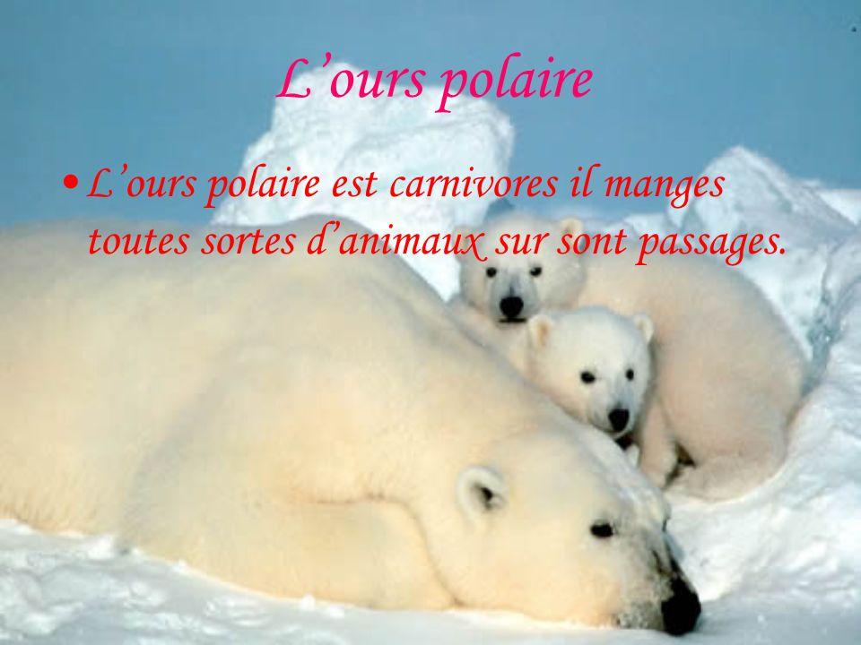 L'ours polaire L'ours polaire est carnivores il manges toutes sortes d'animaux sur sont passages.