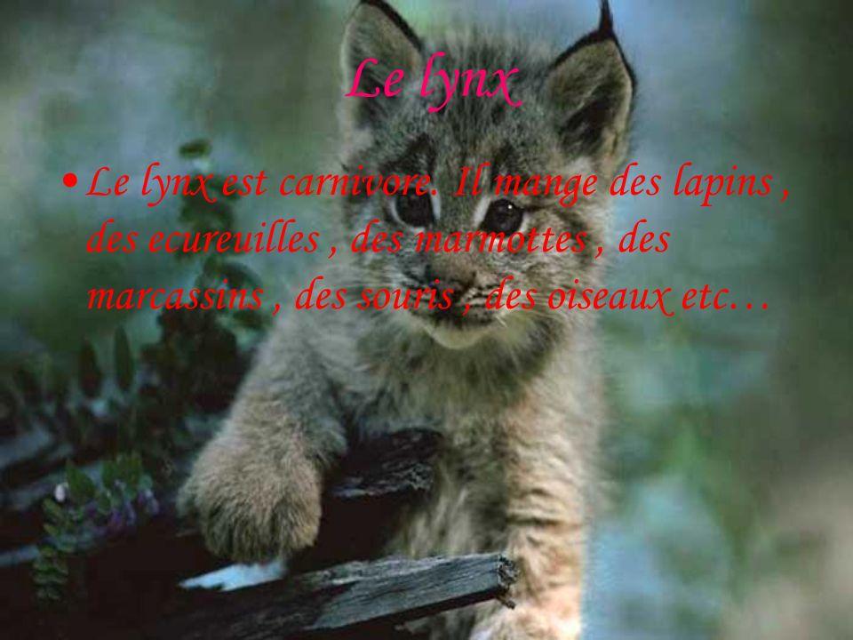 Le lynx Le lynx est carnivore.