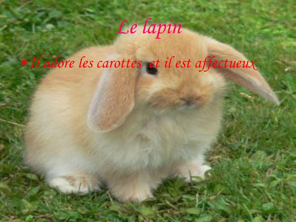 Le lapin Il adore les carottes et il est affectueux
