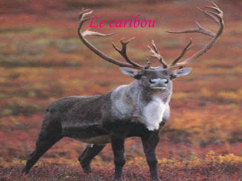 Le caribou