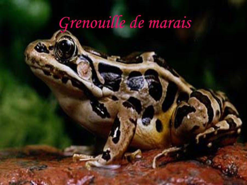 Grenouille de marais