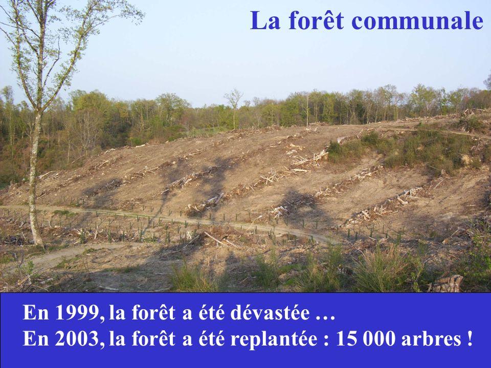 La forêt communale En 1999, la forêt a été dévastée …