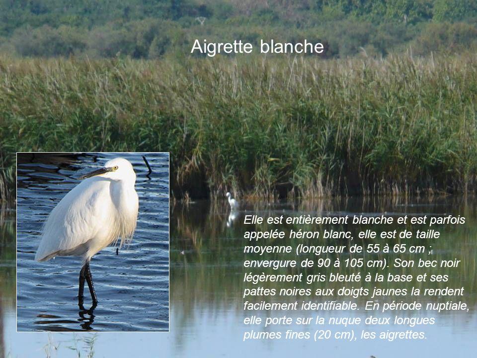 Aigrette blanche